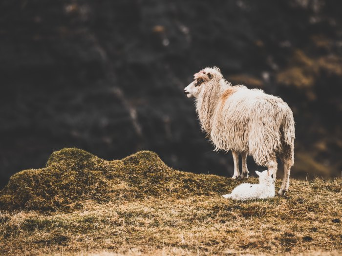 AbundanceSheep:hans-christian-strikert-1106488-unsplash